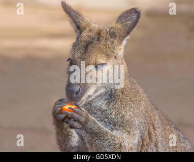 Bennett kangaroos series - Stock Photo