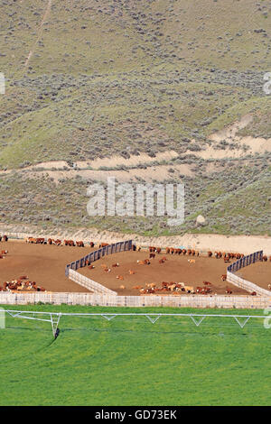 Cattle ranching feedlot near Cache Creek, British Columbia - Stock Photo