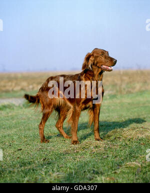 Irish Setter or Red Setter Dog - Stock Photo