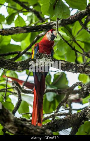 Scarlet Macaw, Ara macao, Costa Rica - Stock Photo