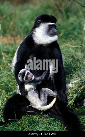 BLACK AND WHITE COLOMBUS MONKEY colobus guereza, FEMALE CARRYING YOUNG - Stock Photo
