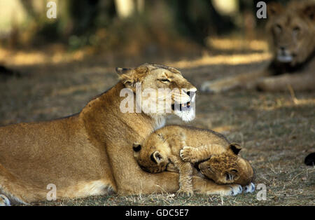 AFRICAN LION panthera leo, MOTHER WITH CUB - Stock Photo