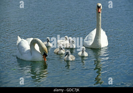 MUTE SWAN cygnus olor, COUPLE WITH CHICKS - Stock Photo