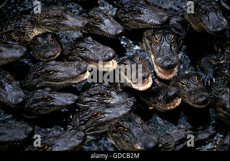 AMERICAN ALLIGATOR alligator mississipiensis, GROUP OF YOUNGS, FLORIDA - Stock Photo