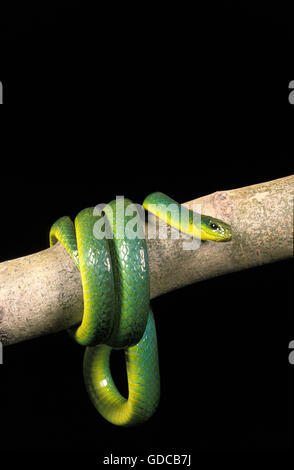 GREEN SNAKE opheodrys major COILED ON BRANCH AGAINST BLACK BACKGROUND - Stock Photo