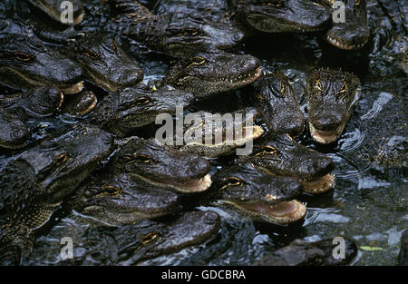 American Alligator, alligator mississipiensis, Babies in Crocodile Farm - Stock Photo