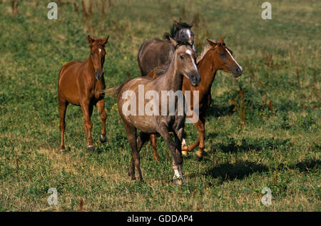 ARABIAN HORSE, HERD GALLOPING IN PADDOCK - Stock Photo