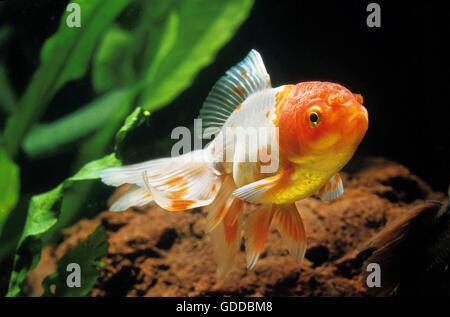 ORANDA GOLDFISH carassius auratus - Stock Photo