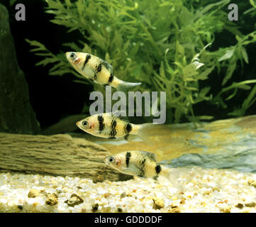 Tiger Barb, puntius tetrazona - Stock Photo