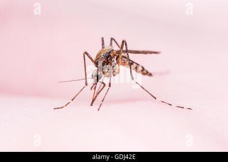 Mosquito Sting - Stock Photo