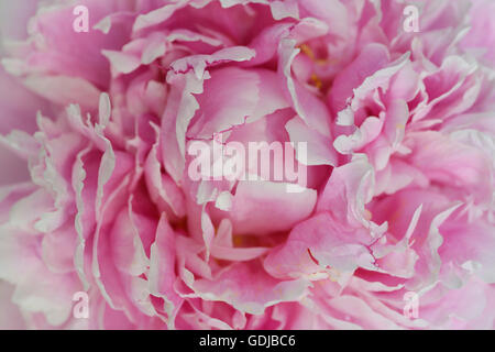 Close up of pink petals of a Peony flower head - Stock Photo