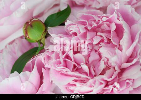 Close up of a flower bud of a pink Sarah Bernhardt Garden Peony - Stock Photo