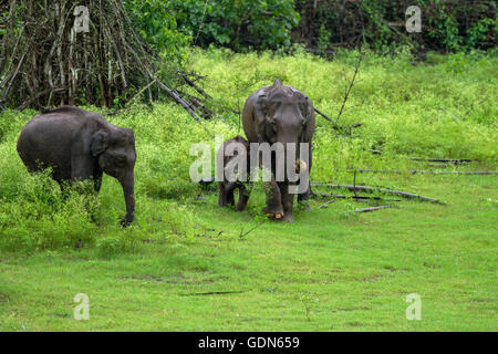 A group of Asian wild elephants with naughty cub walking on the grass in a rainy day - Stock Photo