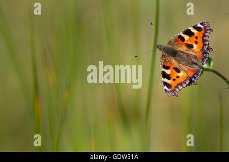 Small tortoiseshell butterfly, West Yorkshire, UK - Stock Photo