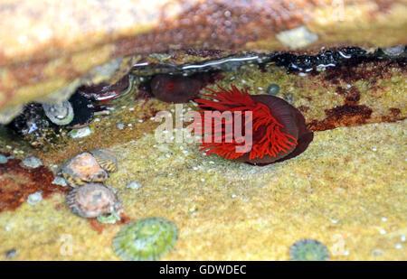 Bright red Waratah Sea anemone (Actinia tenebrosa) in a rock pool on the New South Wales coast, Australia - Stock Photo