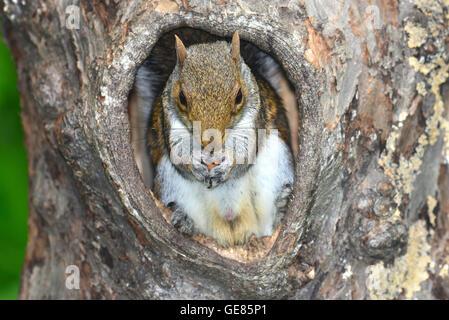 grey squirrel sciurus carolinensis - Stock Photo
