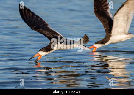 Black skimmers (Rynchops niger) hunting, Galveston, Texas, USA. - Stock Photo