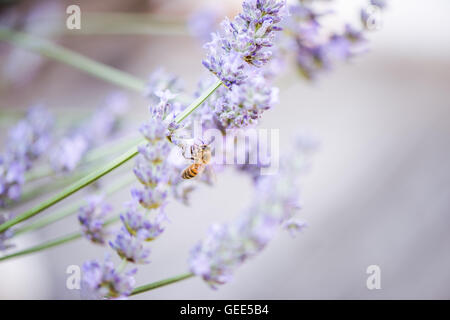 Bee on lavender taking nectar and pollen, close up view - Stock Photo