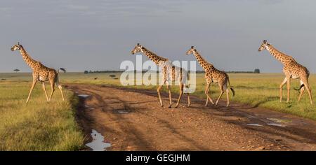 Four giraffes crossing a road on the savanna in Masai Mara, Kenya, Africa - Stock Photo