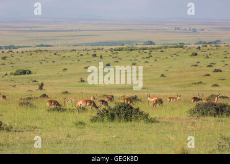 View over Masai Mara with a herd of Impalas in the foreground in nice warm morning light, Masai Mara, Kenya, Africa - Stock Photo