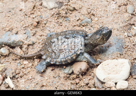 Common snapping turtle, Chelydra serpentina, hatchling, native to North America, Central America, and northern South - Stock Photo