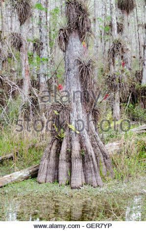 Bald Cypress trunk in Big Cypress National Preserve - Stock Photo