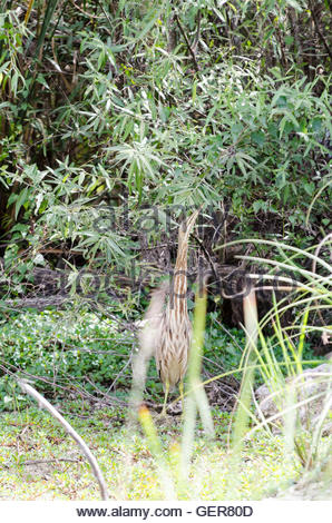 American Bittern points its bill upward and stands stock still to camouflage its presence - Stock Photo