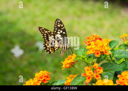 Lime butterfly (Papilio Demoleus Malayanus) on flower in Chiang Mai, Thailand - Stock Photo