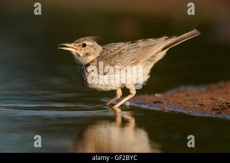 Crested lark, Galerida cristata, Single bird by water, Spain, July 2016 - Stock Photo
