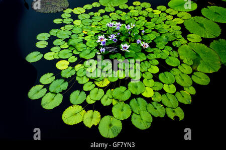 A host of tropical waterlilies, hardy waterlilies, lotuses, and giant water-platters grow in lily ponds at Longwood - Stock Photo