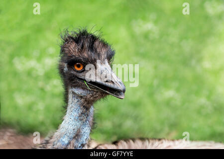 A curious Emu posing for a photo at the Toronto Zoo, Canada. - Stock Photo