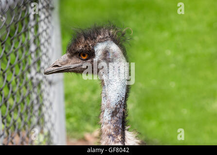 An Emu posing for a photo at the Toronto Zoo, Canada. - Stock Photo