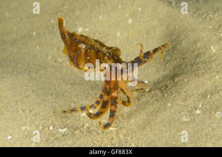 Blue-lined octopus, Hapalochlaena fasciata at Silver Beach Baths, Kurnell, New South Wales, Australia. Depth: 1.8 - Stock Photo