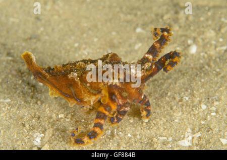 Blue-lined octopus, Hapalochlaena fasciata at Silver Beach Baths, Kurnell, New South Wales, Australia. Depth: 2 - Stock Photo