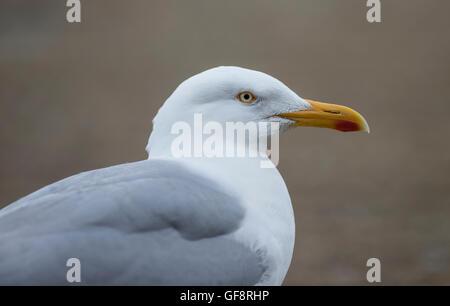 Herring gull (Larus argentatus) head and shoulders - Stock Photo