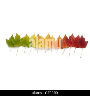 Autumn leaves in a row, studio shot. - Stock Photo