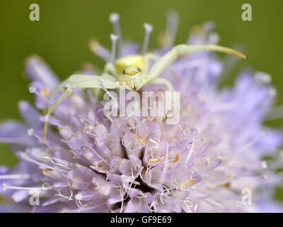 Macro of crab spider (Misumena vatia) on knautia flower seen from front - Stock Photo