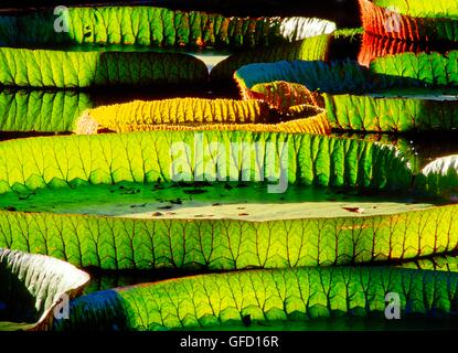 Amazonian water lily pads.  Backlit sunshine shows leaf structure. Genus Victoria Amazonica. Plant family Nympaeaceae - Stock Photo