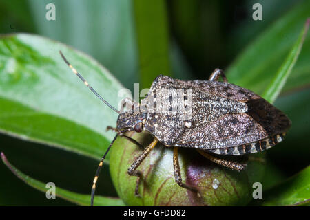 Brown marmorated stink bug also known as a Halyomorpha halys Stal - Stock Photo
