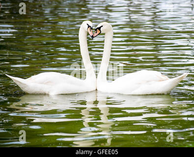 Two White Swans (Cygnus olor) head to head forming a heart shape - Stock Photo