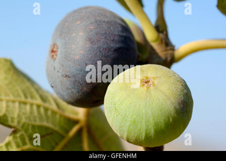 Close up of the fruit and leaves of a fig tree Ficus carica blue sky background - Stock Photo