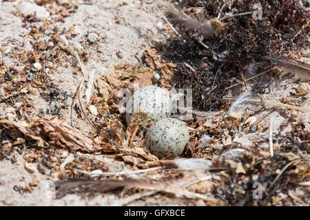 Seagull's eggs on its nest - Stock Photo
