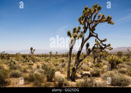 Joshua Trees, Mojave National Preserve, California, USA - Stock Photo