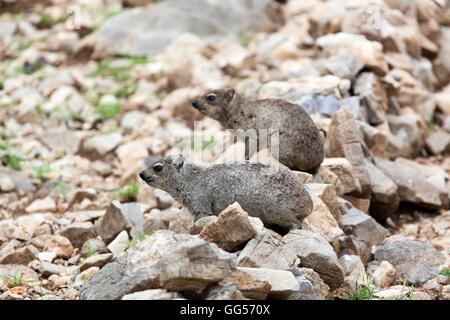 Namibia Rock Dassie, Rock Hyrax (Procavia capensis) near Etosha National Park - Stock Photo