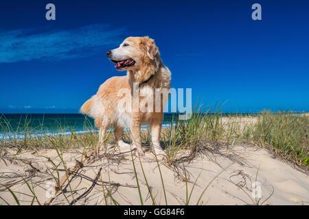 Golden retriever on a sandy dune overlooking tropical beach and blue sky - Stock Photo