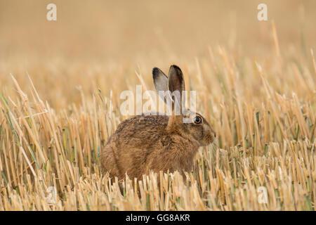 European Brown Hare(Lepus europaeus) sat in a Norfolk stubble field. - Stock Photo