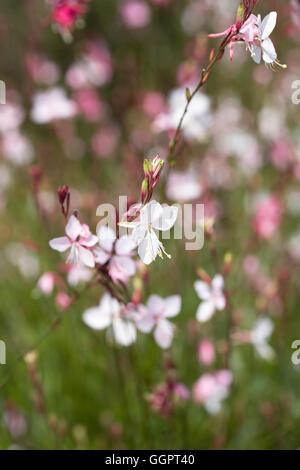 Gaura lindheimeri 'Siskiyou Pink' flowers. - Stock Photo