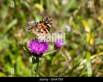 A painted lady butterfly, Cynthia cardui feeds from a purple knapweed flower in summertime. - Stock Photo
