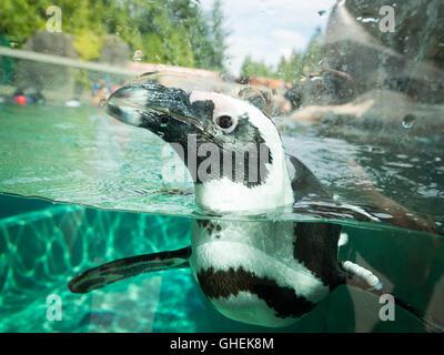 African penguin, in captivity, swimming at the Vancouver Aquarium in Vancouver, British Columbia, Canada. - Stock Photo