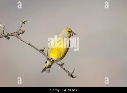 Greenfinch Carduelis chloris Bulgaria - Stock Photo
